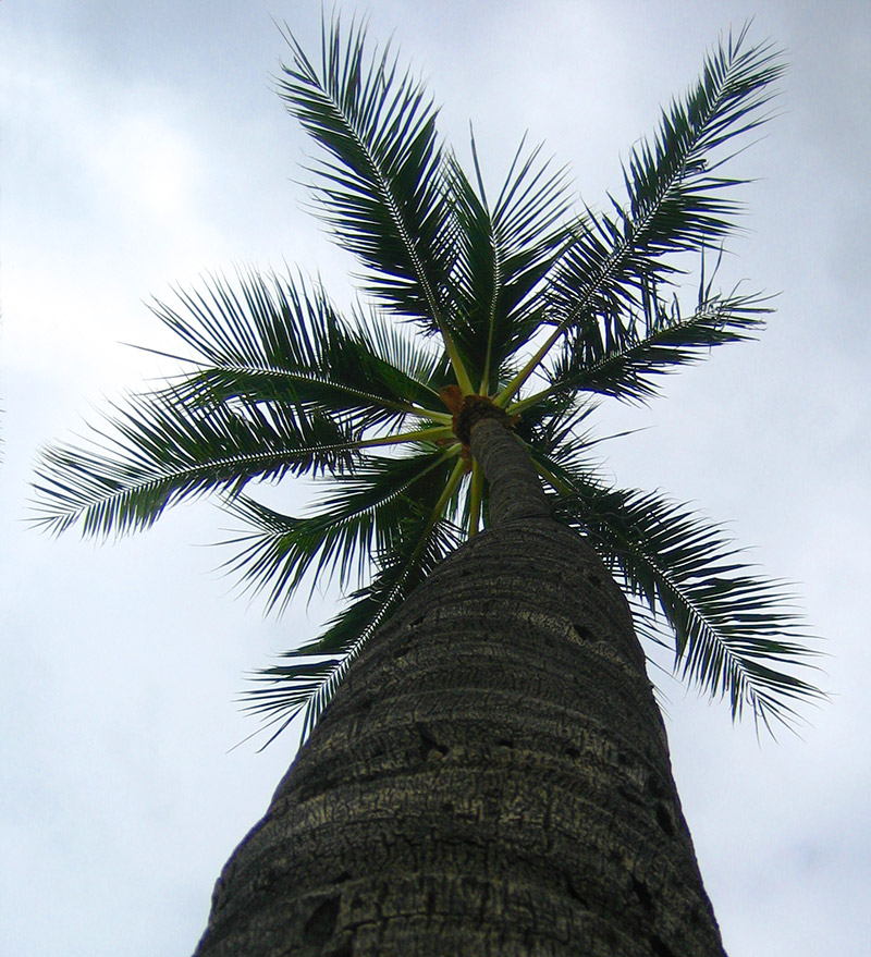 Coconut Tree © Dennis Mojado